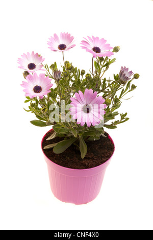 Pot With African daisies isolated on white background. - Stock Photo