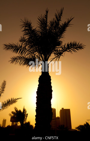 Silhouette of a palm tree taken at sunset in Kuwait City in the Middle East. - Stock Photo