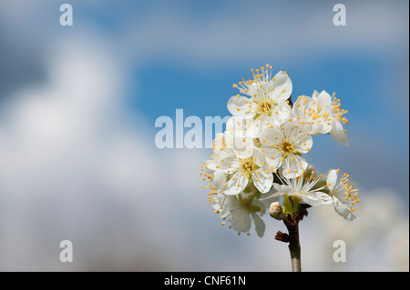 Malus domestica. Apple Tree blossom against blue cloudy sky - Stock Photo