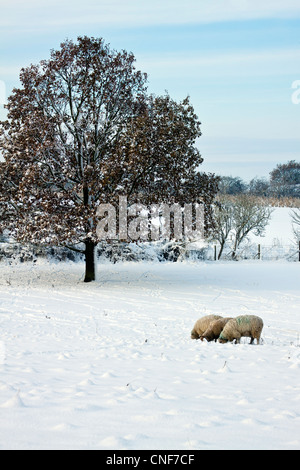 A portrait format photo with 3 sheep on the right eating, a tree on the left and farmland in the distance all covered - Stock Photo