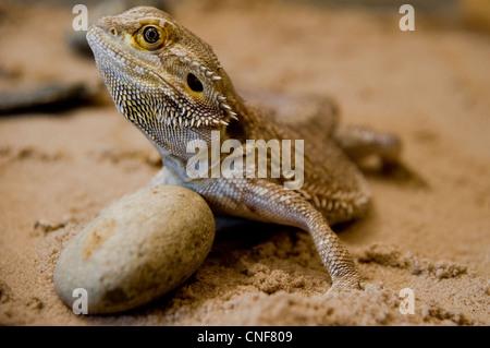 bearded dragon close up portrait - Stock Photo