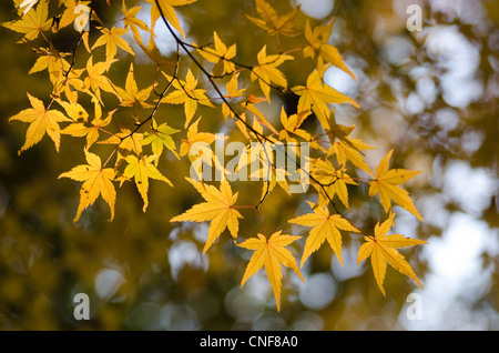 Yellow leaves of the japanese maple in autumn, foliage - Stock Photo