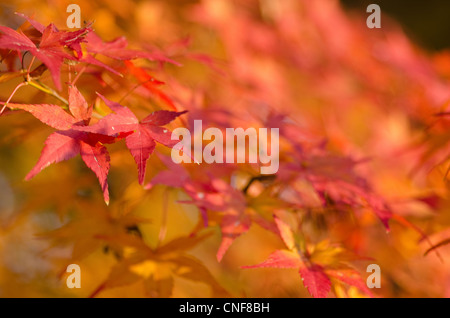 Red leaves of the japanese maple in autumn, foliage - Stock Photo