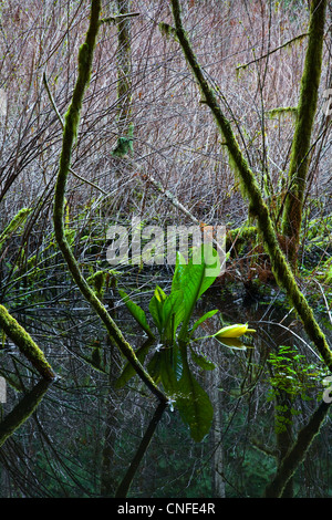 Skunk Cabbage growing in a swamp - Stock Photo
