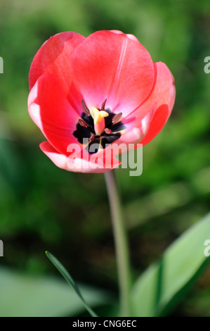 Wide open red spring tulip. - Stock Photo