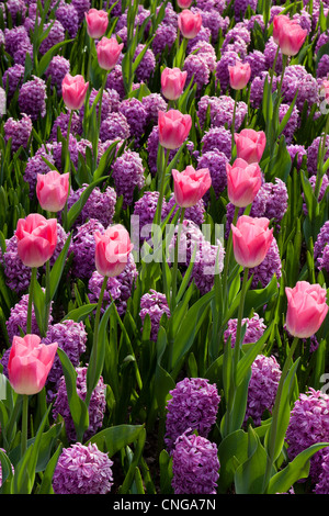 Flowerbed with Hyacinths 'Amethyst' and tulip 'Dynasty' (Hyacinthus 'Amethyst', Tulipa Triomphe 'Dynasty') - Stock Photo