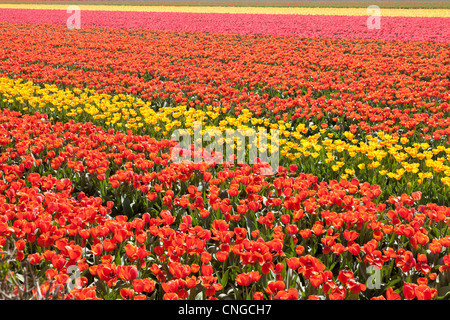 Holland, 'Dune and Bulb Region' in April, Lisse, here, fields of tulips. - Stock Photo