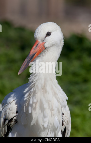 White Stork Ciconia ciconia adult close-up (captive collection bird) - Stock Photo
