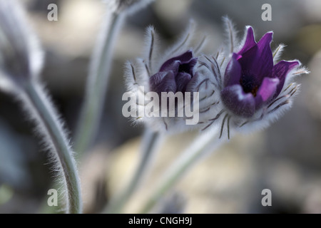 Close-up image of Pulsatilla Halleri. - Stock Photo