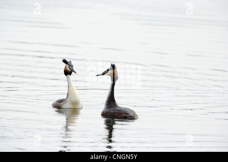 Pair of Great Crested Grebe Podiceps cristatus performing courtship display. Berkshire, UK. - Stock Photo
