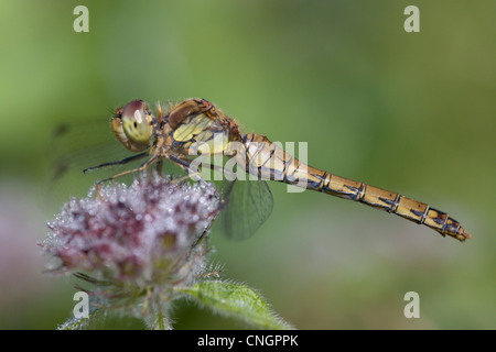 Female Ruddy Darter dragonfly, Sympetrum sanguineum, perching on flower, UK.