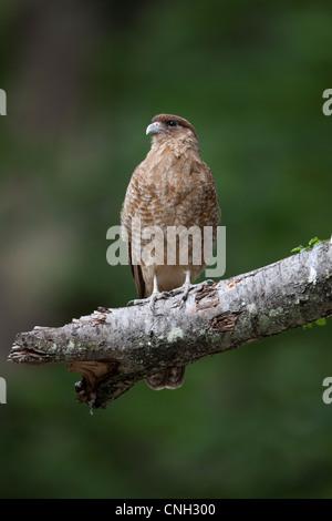 Chimango Caracara (Milvago chimango temucoensis) at Tierra del Fuego National Park, Argentina. - Stock Photo