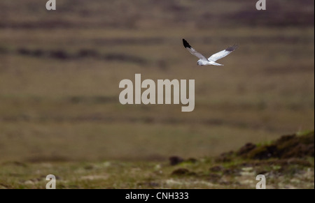 Male hen harrier in flight over moorland in North Uist Scotland - Stock Photo