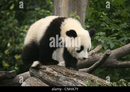 Fu Long the Giant panda cub enjoys in his enclosure at Schonbrunn Zoo in Vienna, Austria. - Stock Photo