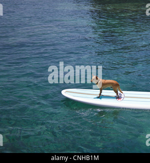 Dog named Menehune on stand up paddleboard on the Big Island of Hawaii - Stock Photo