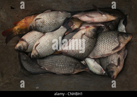 Prussian silver carps. Traditional mass carp fishing at the Zehunsky Pond in Eastern Bohemia, Czech Republic. - Stock Photo