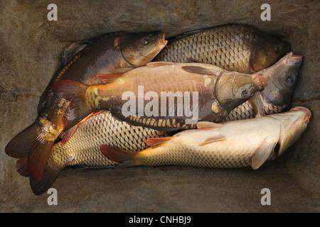 Common carps. Traditional mass carp fishing at the Zehunsky Pond in Eastern Bohemia, Czech Republic. - Stock Photo