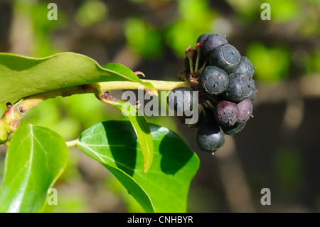 Ivy- Hedera Helix leaves and berries. - Stock Photo