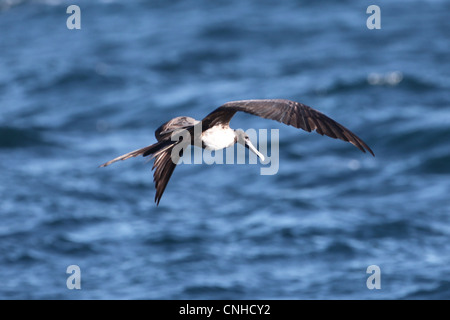 A Magnificent Frigatebird off the coast of Coiba, Panama. - Stock Photo