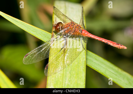 An adult male ruddy darter dragonfly (Sympetrum sanguineum) perched on tangled reeds at Staverton Lakes, Suffolk. - Stock Photo