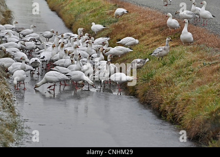 This stock image shows rare snow geese on frozen water in a ditch, both climbing into and out of the ditch. - Stock Photo