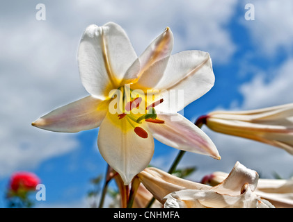 White lily flower is backlit against a blue sky with white puffy clouds and some blurred red flowers in the background. - Stock Photo