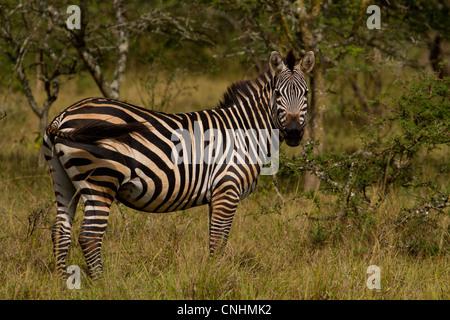 Burchell's Zebra (Equus quagga burchelli) in Lake Mburo National Park, Uganda (aka Common Zebra or Plains Zebra) - Stock Photo