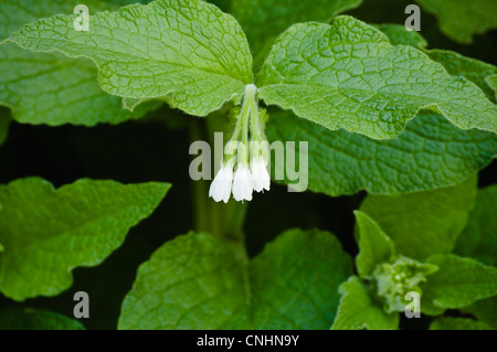 Comfrey (Symphytum officinale) leaves and flowers. The leaves, rich in potassium, are ideal to use as an organic - Stock Photo