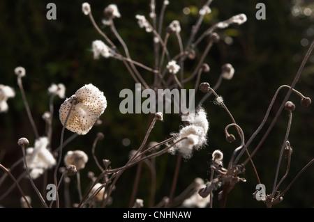 Japanese Anemone ( Honorine Jobert ) seed heads. - Stock Photo