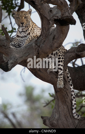A leopard lying in the branches of a bare tree - Stock Photo
