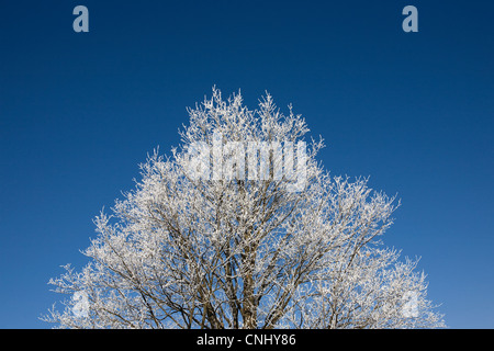 Tree covered in hoar frost - Stock Photo