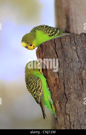 Budgerigar (Melopsittacus undulatus) adult pair, at nesthole entrance, Alice Springs, Northern Territory, Australia - Stock Photo