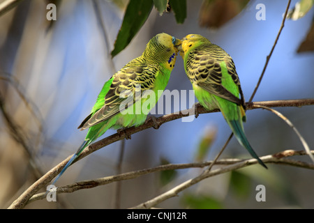 Budgerigar (Melopsittacus undulatus) adult pair, 'billing' courtship behaviour, Alice Springs, Northern Territory, - Stock Photo