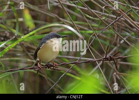 Ashy Prinia (Prinia socialis brevicauda) endemic race, adult, perched on barbed wire, Sri Lanka, december - Stock Photo