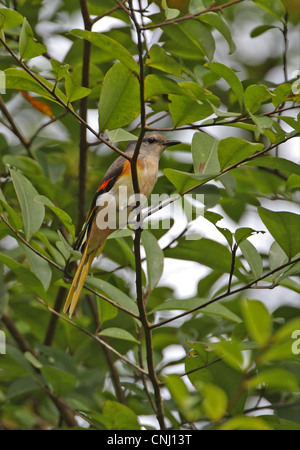 Small Minivet Pericrocotus cinnamomeus immature male first year plumage perched in tree Kaeng Krachan N.P Thailand - Stock Photo