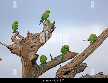 Rose-ringed Parakeet (Psittacula krameri) adults, group resting and preening in dead tree, Sri Lanka, december - Stock Photo