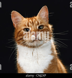 Ginger cat. Portrait of a ginger and white cat - Stock Photo
