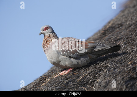 Speckled Pigeon (Columba guinea) adult, standing on thatched roof, Pilanesberg N.P., North West Province, South - Stock Photo