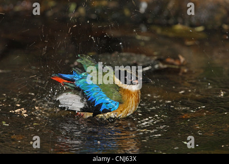 Blue-winged Pitta Pitta moluccensis immature first winter plumage bathing in forest pool Kaeng Krachan N.P Thailand - Stock Photo