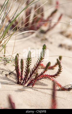 Sea Spurge, Euphorbia paralias - Stock Photo