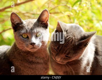 Two grey kittens basking in the sun.(felis catus) - Stock Photo