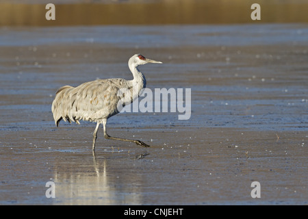 Sandhill Crane Grus canadensis adult walking in water Bosque del Apache National Wildlife Refuge New Mexico U.S.A - Stock Photo
