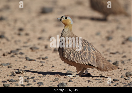 Crowned Sandgrouse (Pterocles coronatus) adult male, standing in desert, near Erg Chebbi, Morocco, february - Stock Photo