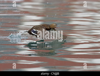 Steller's Eider (Polysticta stelleri) adult female, taking off from water, Northern Norway, march - Stock Photo