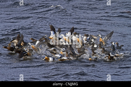 Steller's Eider Polysticta stelleri adult males females wintering flock taking off water Varanger Northern Norway - Stock Photo