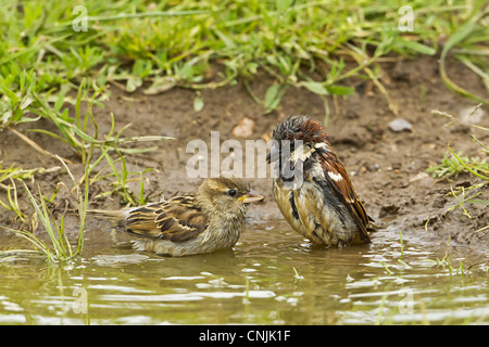 House Sparrow (Passer domesticus) adult pair, bathing in puddle on farmland, Warwickshire, England, june - Stock Photo