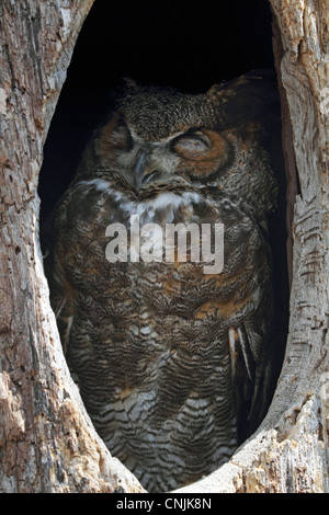 A Great Horned Owl, Bubo virginianus, sleeping in its tree hollow. Turtleback Zoo, West Orange, New Jersey, USA - Stock Photo