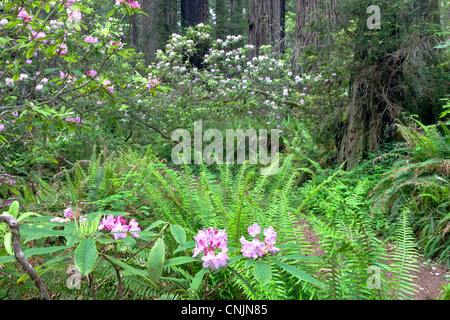 Rhododendrons, Redwood Forest. - Stock Photo