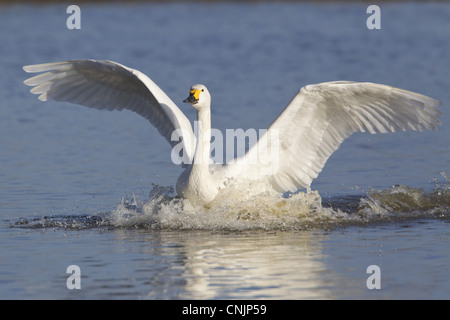 Bewick's Swan (Cygnus bewickii) adult, with wings spread, landing on water, Slimbridge, Gloucestershire, England, - Stock Photo