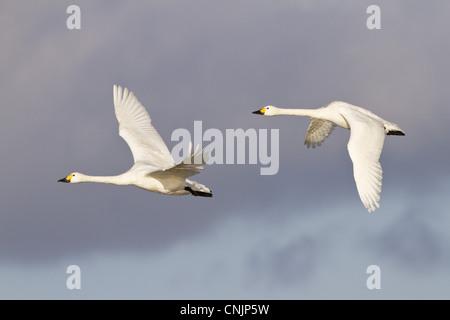 Bewick's Swan (Cygnus bewickii) adult pair, in flight, Slimbridge, Gloucestershire, England, january - Stock Photo